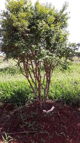 Muda de jabuticaba produzindo  (62)985701915